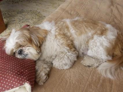 シーズー犬ぽんずのもふ寝