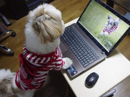 2012年、デスクトップPC用カレンダー、シーズー犬「ぽんず」
