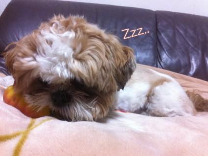 シー・ズーが寝ているところ