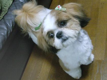 美少女犬のシーズー