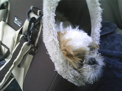 キャリーバッグで寝るシーズー犬
