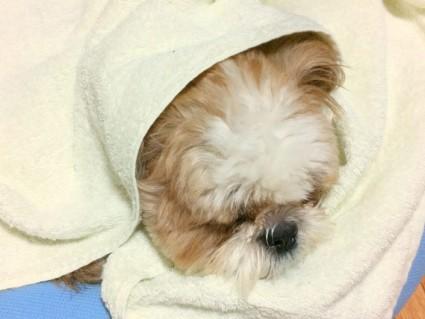 シーズー犬、ぽんずのもふ寝