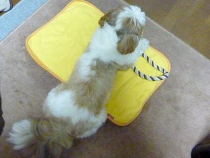 シーズー犬、ロープひっぱりっこ