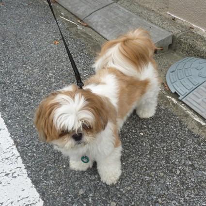シーズー犬、朝散歩