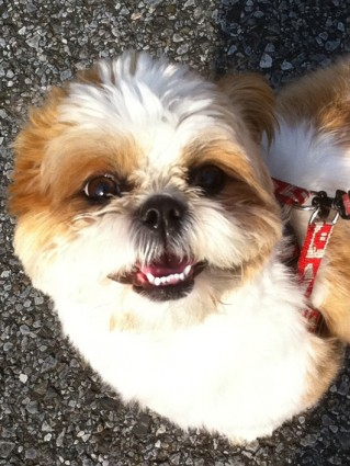 シーズー犬ぽんずの笑顔