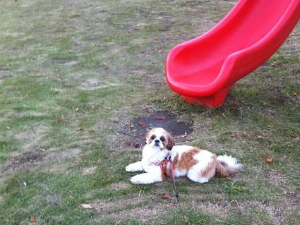 公園でくつろぐシーズー犬のぽんず