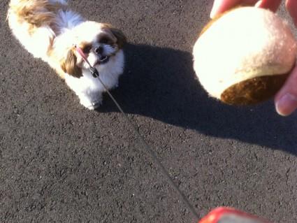 シーズー犬とボール遊び