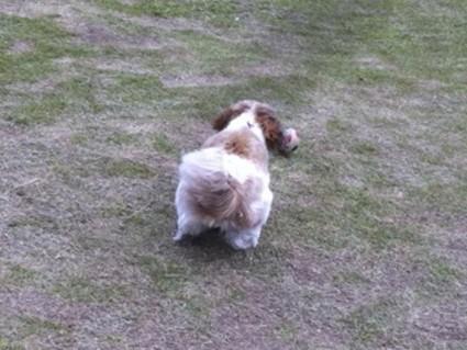 ボールで遊ぶシーズー犬、ぽんず