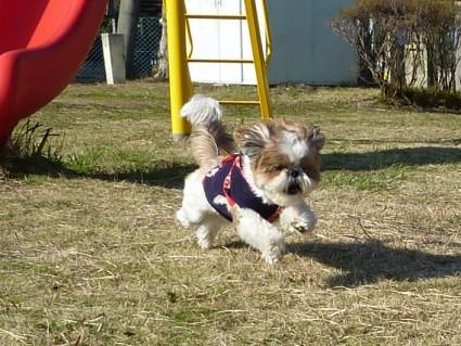 シーズー犬「ぽんず」とボール投げ