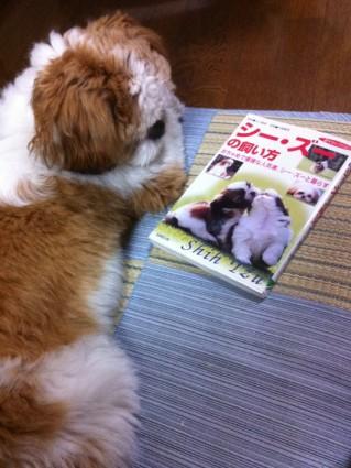 シーズーの飼い方本を読むぽんず