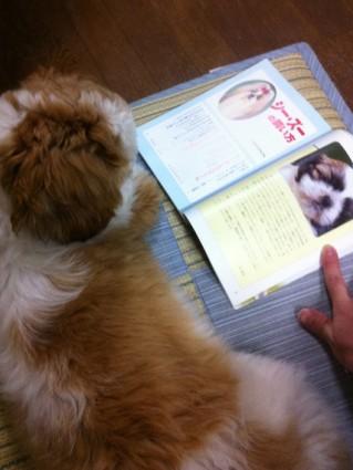 シーズー犬ぽんずに本を読んでやる