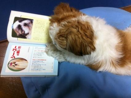 読書するシーズー犬ぽんず