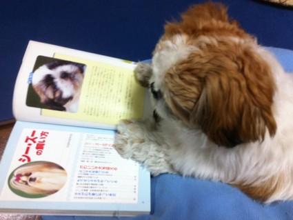 読書するシーズー犬ぽんず2