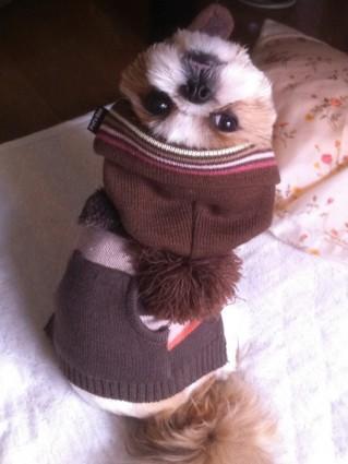 シーズー犬の帽子1