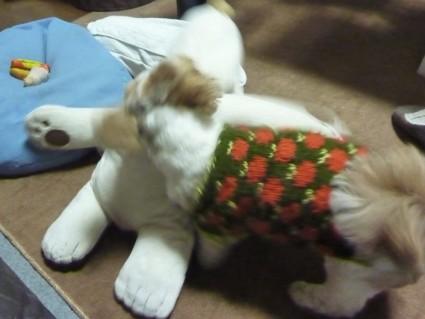 暴れるシーズー犬