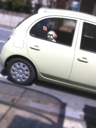 車から顔を出すシーズー犬ぽんず