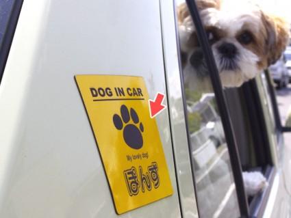 カー・マグネットシートを貼ってドライブするシーズー犬ぽんず