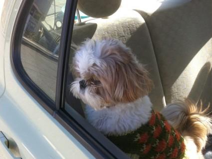 シーズー犬ぽんずとドライブ
