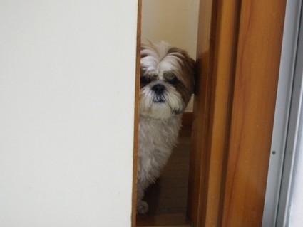 家政婦シーズー犬、ぽんず