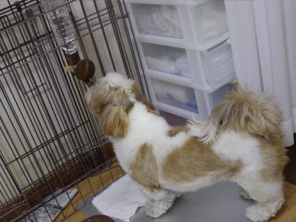 シーズー犬「ぽんず」のトイレ