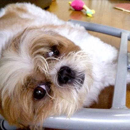 変な場所で寝ているシーズー犬、ぽんず