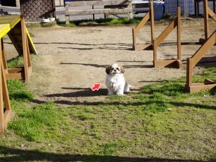 シーズー犬とドッグラン