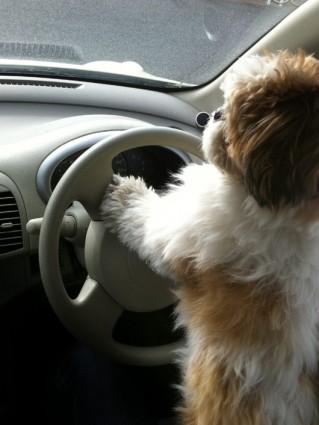 運転するシーズー犬ぽんず