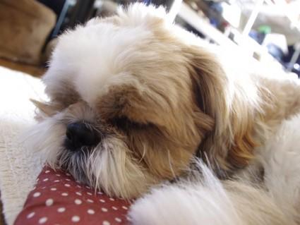 シーズー犬、ぽんずのお気に入り座布団