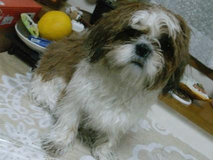 風呂に入るシーズー犬ぽんず2