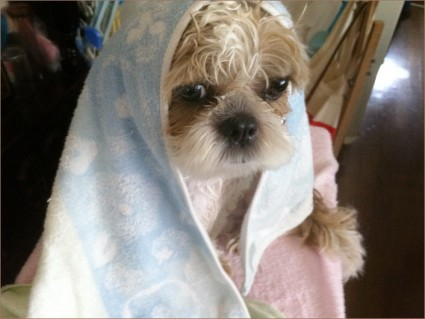 シーズー犬を風呂へ