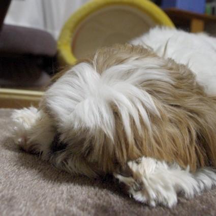 シーズー犬、寝顔