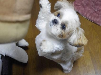 シーズー犬「ぽんず」アタック!