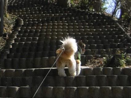シーズー犬ぽんずと茂原公園で遊ぶ