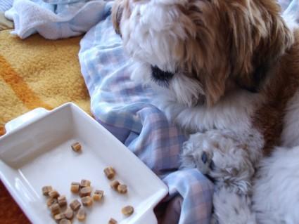 ドッグフードを食べないシーズー犬のぽんず