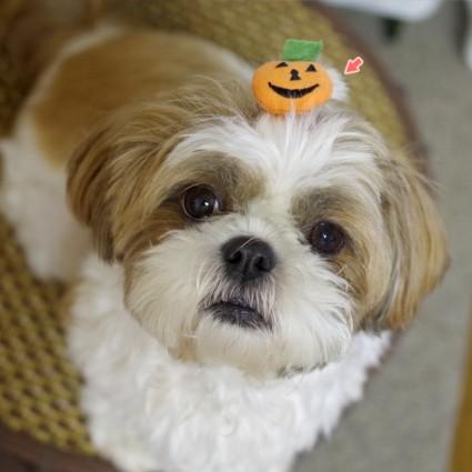 ペット用ハロウィングッズ『かぼちゃリボン』