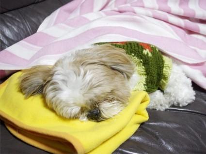 シーズー犬「ぽんず」の寝顔
