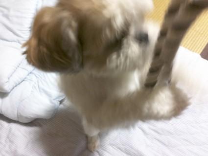 シーズー犬とひっぱりっこ
