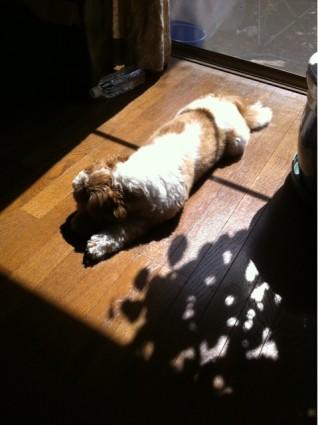 日なたぼっこしているシーズー犬