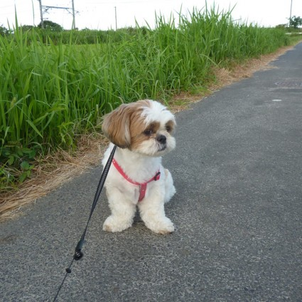 シーズー犬ぽんず、夕散歩