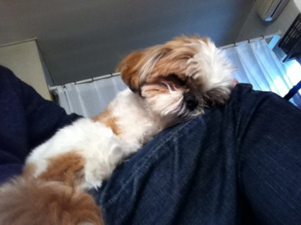 膝上で寝るシーズー犬ぽんず