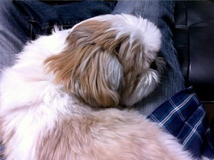 膝の上、シーズー犬
