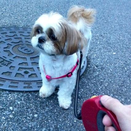 シーズー犬お散歩!