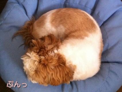 ふて寝するシーズー犬「ぽんず」