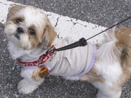 シーズー犬に歩数系を付けてみた。