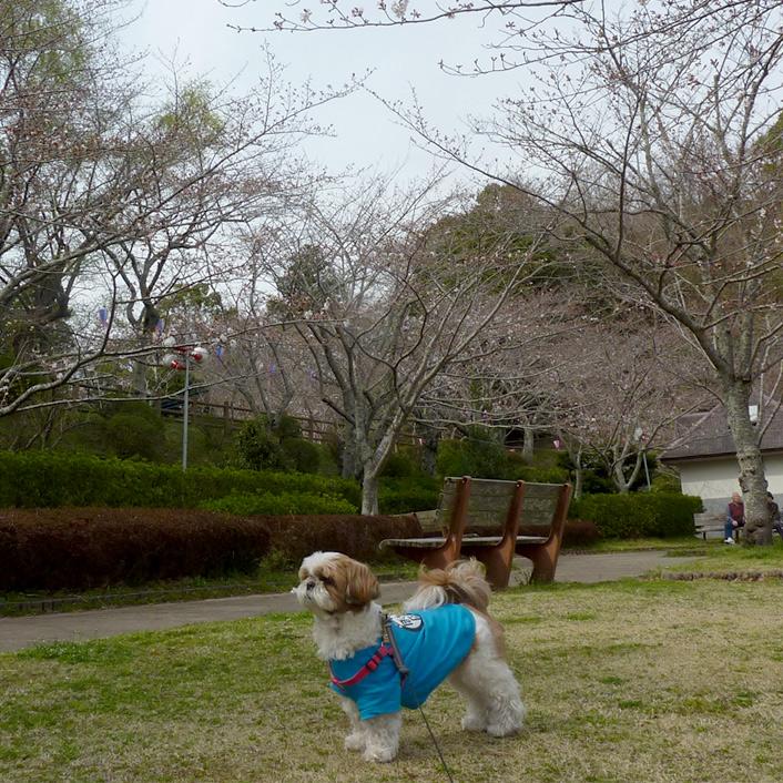 茂原公園、何分咲き?
