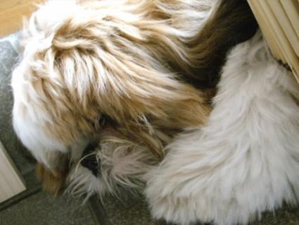 隠れるシーズー犬