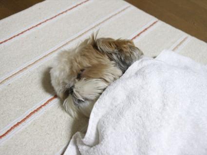 癒しのシーズー犬、ぽんず