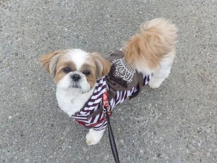 シーズー犬、散歩あるある