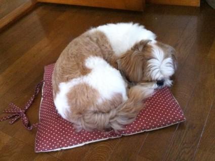 シーズー犬の寝顔