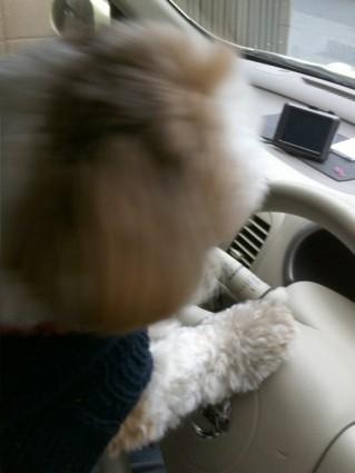 シーズー犬ぽんずのもふもふドライブ